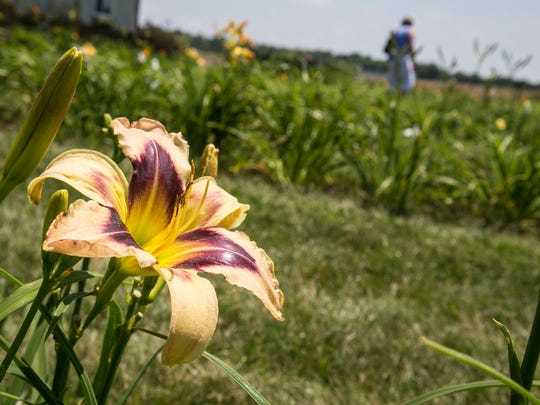Daylilies populate the yard of Wendy Schwall near Galion. Schwall has about 500 varieties of the perennial.