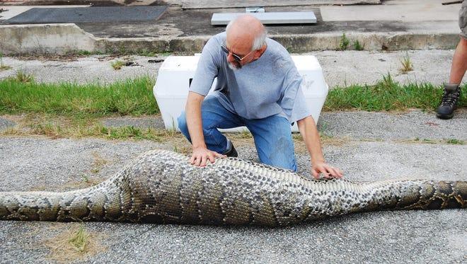 A python swallowed a deer at the Everglades National Park.