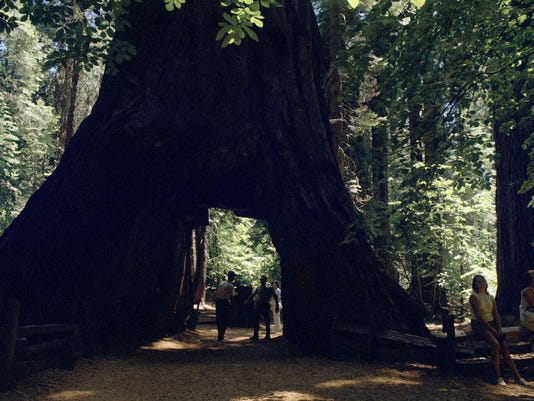 636195670698086750-California-Sequoias-Davi.jpg