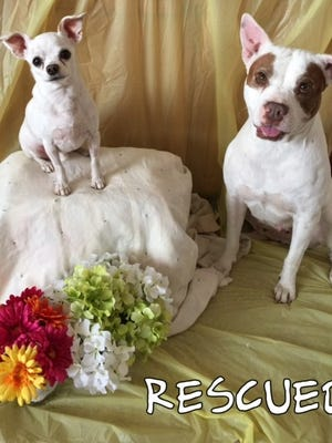 Chihuahuas like Rocco (left) and pit bulls like Melody are eligible for free spay and neuter surgeries this month through PAL (Prevent a Litter). Both Rocco and Melody have been adopted.