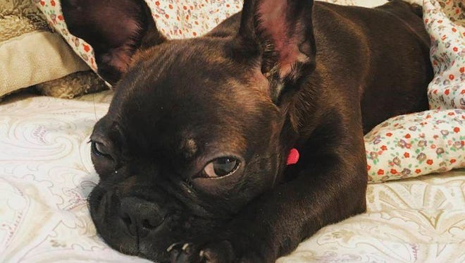 This undated photo provided by Natalie Sullivan shows Sullivan's French bulldog-Boston terrier mix puppy, Jane. Sullivan, of Brooklyn, says a pet store salesman talked her into a costly lease contract when she bought the dog.  Nevada and California have banned pet leasing and New York may also outlaw the practice under legislation proposed in the Assembly and supported by animal welfare organizations.