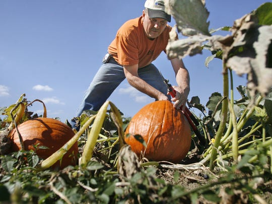 Kevin Shima harvests a pumpkin on his family's farm,