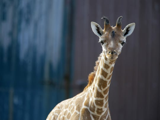 Xena, a baby giraffe born on January 1, is curious about the sound of the camera at Six Flags Great Adventure and Safari in Jackson, NJ Monday February 27, 2017.