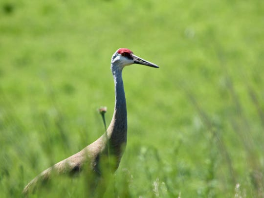 Sandhill cranes are just one of many bird species you can see along the Ice Age Trail at Lapham Peak.
