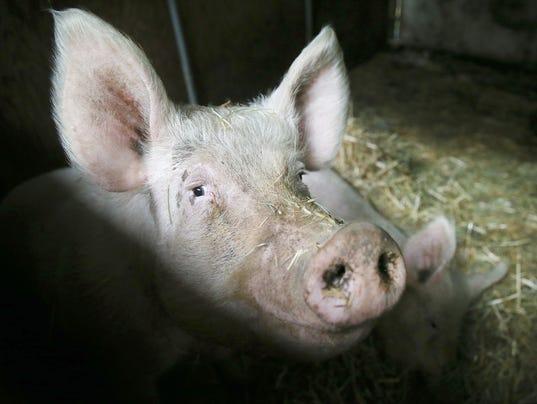 Pigs-1.jpg