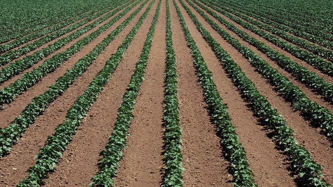 Corn and soybean farmers in Iowa, benefiting from favorable summer weather, are expected to harvest record amounts of both crops later this year.
