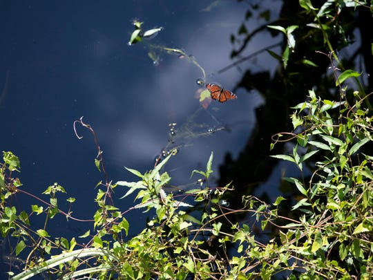 A Viceroy butterfly soars over the swamp during the