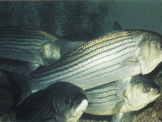 New limits on striped bass fishing in maine bass fishing for Maine bass fishing