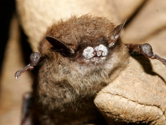 This photo shows a little brown bat suffering from white-nose syndrome, with the signature frosting of fungus on its nose.