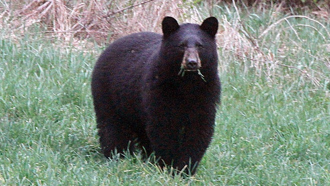 In this April 22, 2012, file photo, a black bear grazes in a field in Calais, Vt.