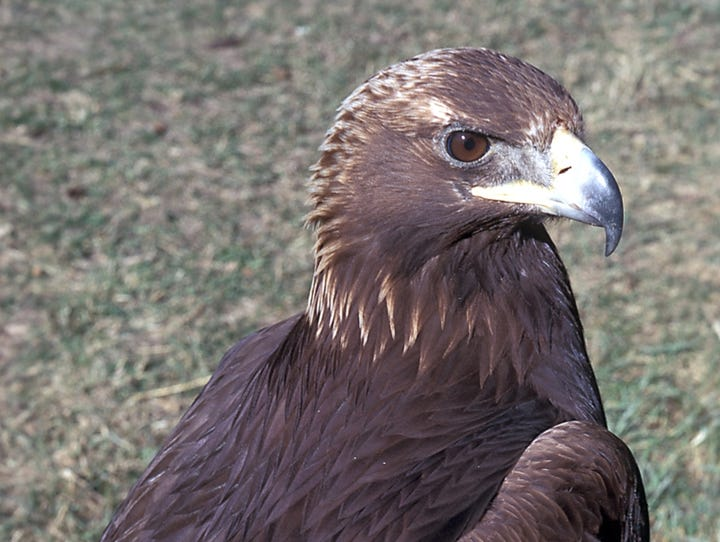 Golden eagles have a wing span measuring almost 80 inches — that's six and half feet.