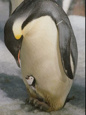 An emperor penguin tends to his newly-hatched chick inside Sea World of California's 25-degree Penguin Encounter in San Diego, Calif., on Sept. 29, 1995.