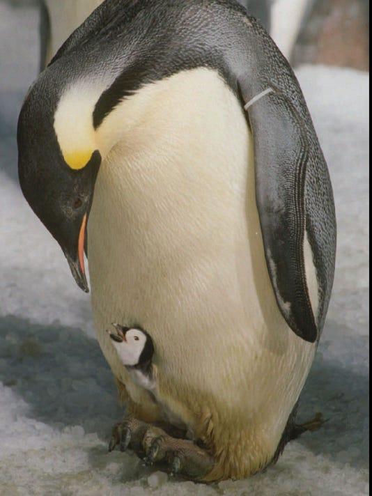Emperor penguins marching toward peril