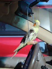 Chicken's perch in Maile Ready's car.