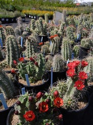 Cactuses and succulents are the stars of the Desert