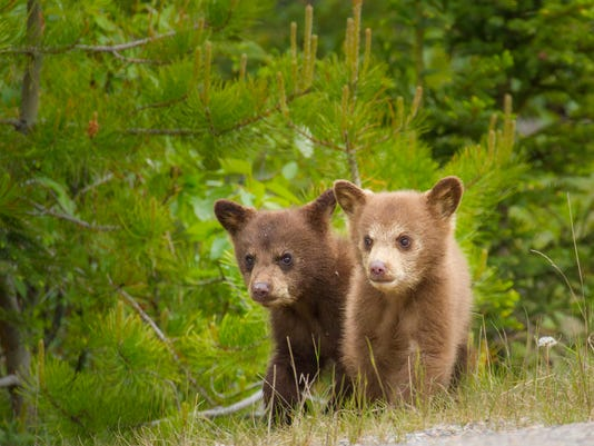 Bear cubs together