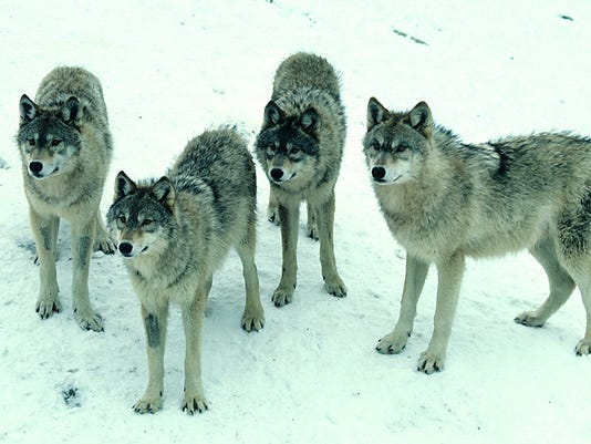 636034889604986121-WolfOutrage-HerbLangePhoto-viaWisDNR.jpg