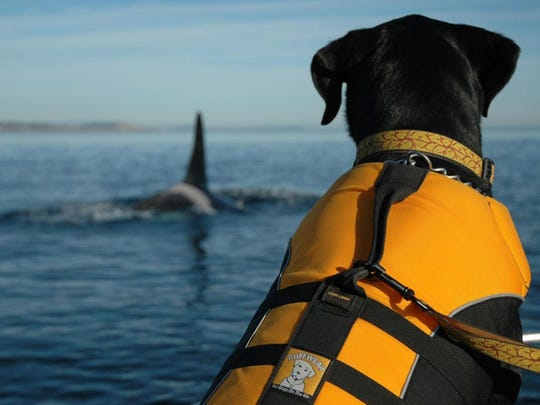 A dog trained to sniff for orca scat sits on a boat