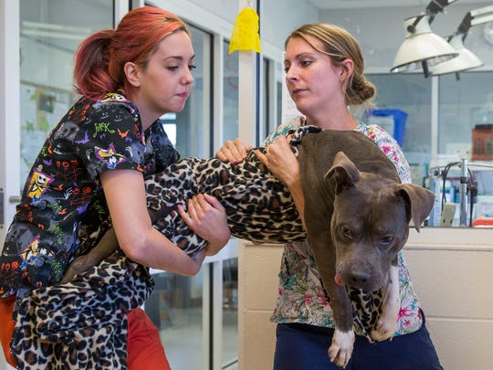 From left, Morgan Ward helps Amanda Hoehn carry a pit bull back to his cage after he was neutered at the Vanderburg Humane Society on Tuesday morning.