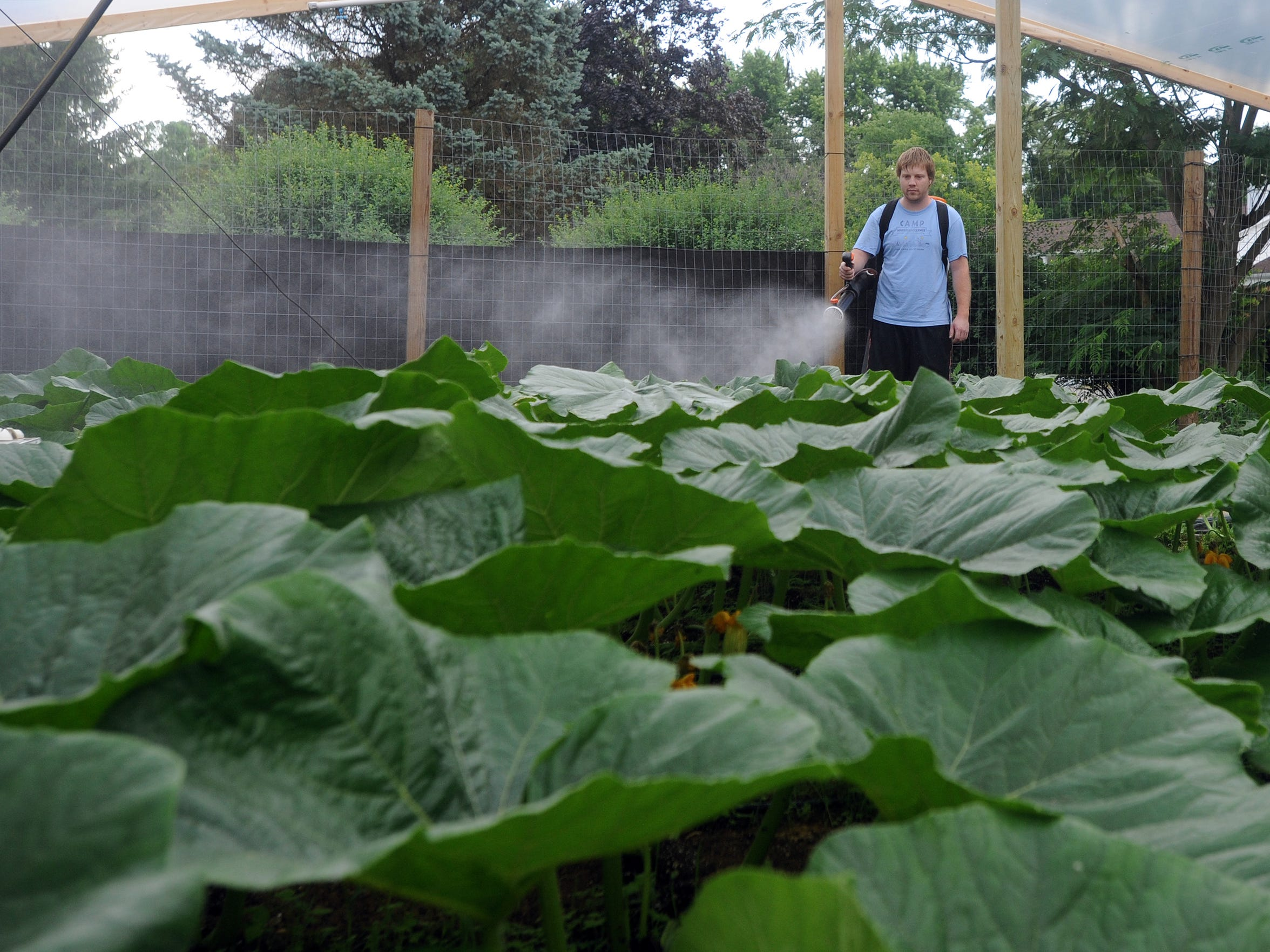 Rusty Ortman uses a sprayer to add growth hormones and fungicides to his pumpkin plants June 20 at the Ortman Family Greenhouse. Ortman sprayed the whole vine with the mixture for the first time this year instead of just the pumpkin.