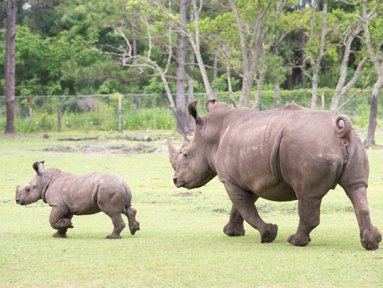 Katie, a southern white rhino, and her Katana trot May 17 at the Gulf Breeze Zoo.