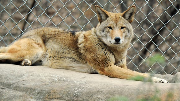 Coyote at the WNC Nature Center.