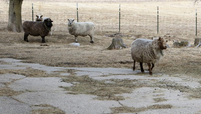 With the uncertain times of low commodity prices the last several years, University of Wisconsin-Extension will provide some programming around sheep and goat farming, specifically as it relates to the economics of raising these animals.