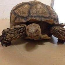 100-pound tortoise