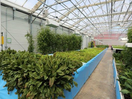 Inside the greenhouse at Lake Orchard Farm Aquaponics