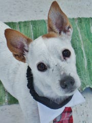 Sweet Benny is an 11-year-old Jack Russell mix who