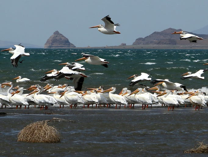 American White Pelicans are seen on the shores of Pyramid