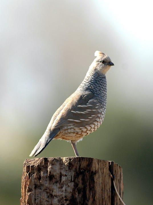 scaled-quail-2.jpg