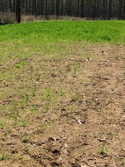 This food plot was planted with proper lime and fertilizer