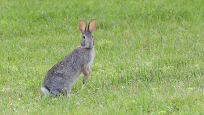 Rabbit season continues through March 31. .