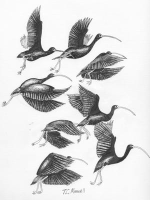 The white-faced ibis is one of three ibis species that can be found in Texas.