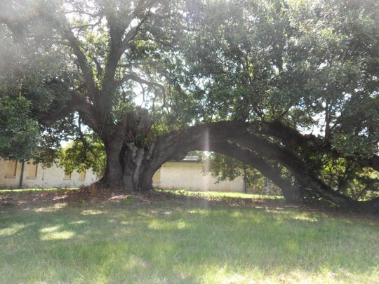 """The """"Huey P. Long"""" tree is one of three live oaks on the grounds of Huey P. Long Medical Center in Pineville added to the state Live Oak Society registry. The tree is more than 100 years old and has a girth of 26 feet, 2 inches."""