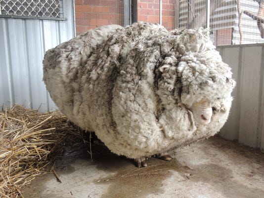 Australia Overgrown Sheep