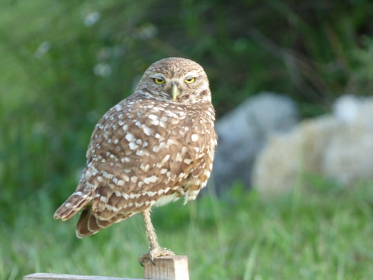 The burrowing owl is the official bird of Cape Coral.