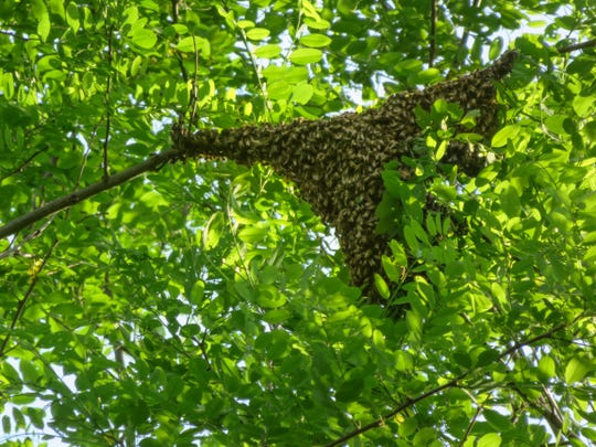 The completed honeybee swarm cluster is shown on the branch of a tree.