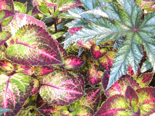 Coleus and begonias are among many long-lasting annuals that bloom well into fall, most lasting until the first hard frost or freeze.