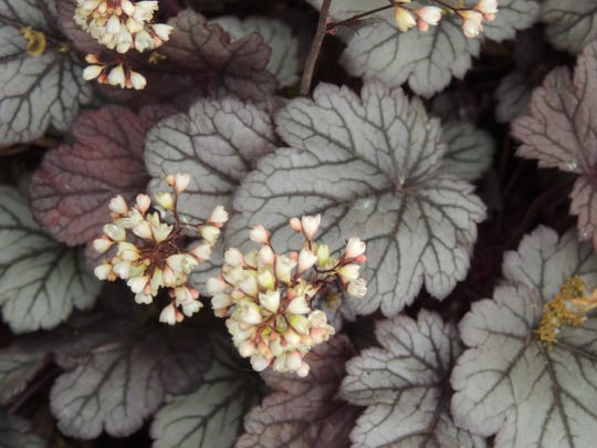 Fall is the best time to divide perennials, including these coral bells and many others, giving them plenty of time to establish themselves in their new home before the first freeze.