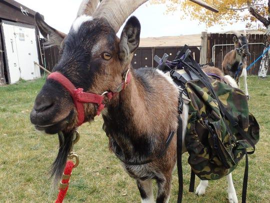 Chester demonstrating the pack saddle. Grisak