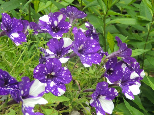 Night Sky petunia was a hot seller in 2017. A rich, deep purple with variable white spots, this petunia made a big splash during the growing season, and quickly sold out in many garden centers.