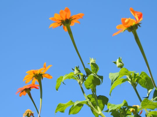 Mexican sunflower, also called The Torch, like all sunflowers, is easy to grow from seed. These late bloomers benefit from starting indoors to give them a head start.