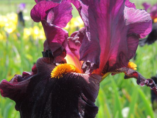 Be sure to plant your iris rhizomes properly to enjoy season after season of colorful, dramatic bloom.