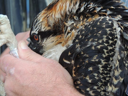 A leg band is placed on a young osprey in Weyauwega last week by volunteers from the Feather Wildlife Rehabilitation and Education Center. We Energies donated equipment, time and employees to retrieve young birds from towering nest platforms in the area.