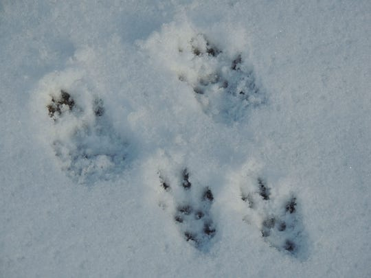 Tracking becomes fun and easy when you learn how to identify animals by their tracks and patterns. These are the prints of a gray squirrel in fresh snow.