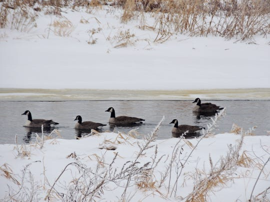 River waters remain open for much of winter at Collins Marsh State Wildlife Area, allowing a few Canada geese and other waterfowl to remain much of the season. Explore the many backroads around the marsh to see hawks, owls, whitetails, ring-necked pheasants, ruffed grouse and other species.