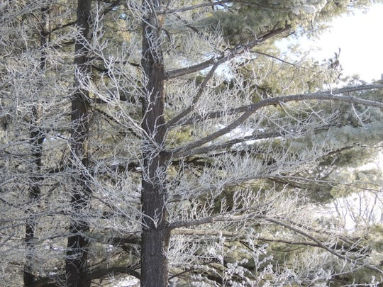 The beauty of winter pines is breathtaking wherever