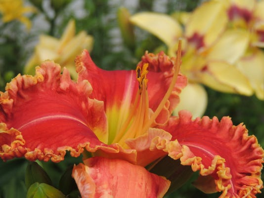 APC yard md daylily convention preview LEAD.JPG